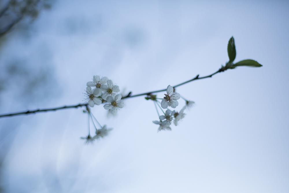 Trädblommor