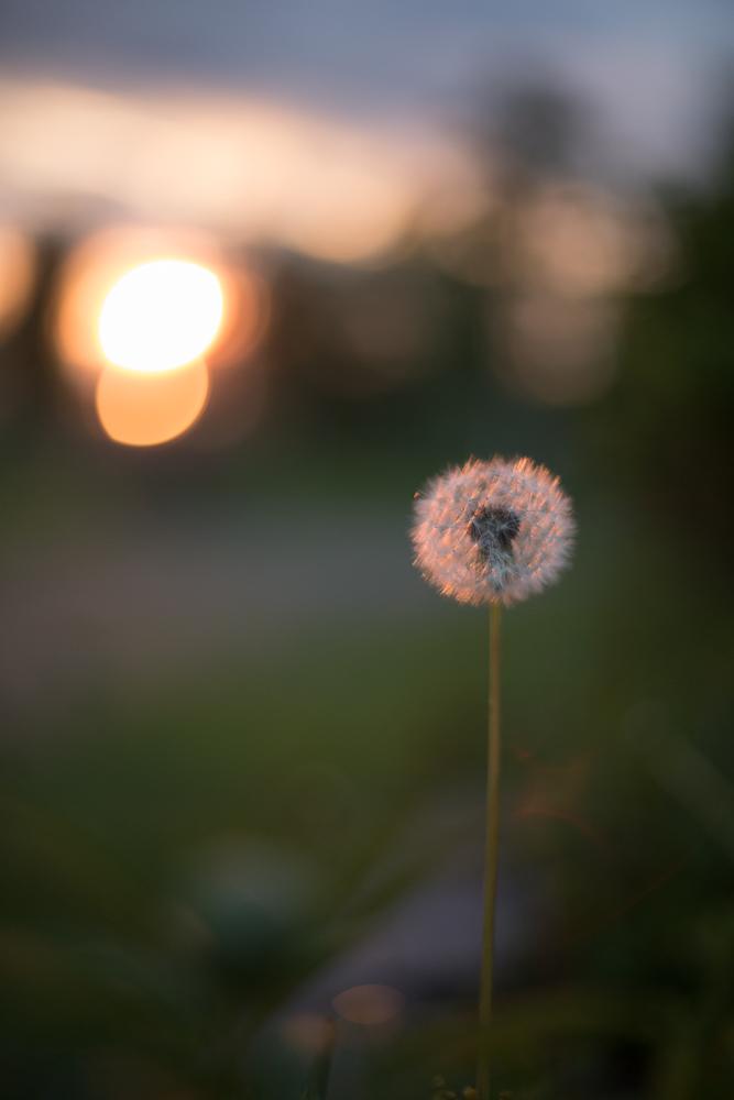 Maskros i solnedgång