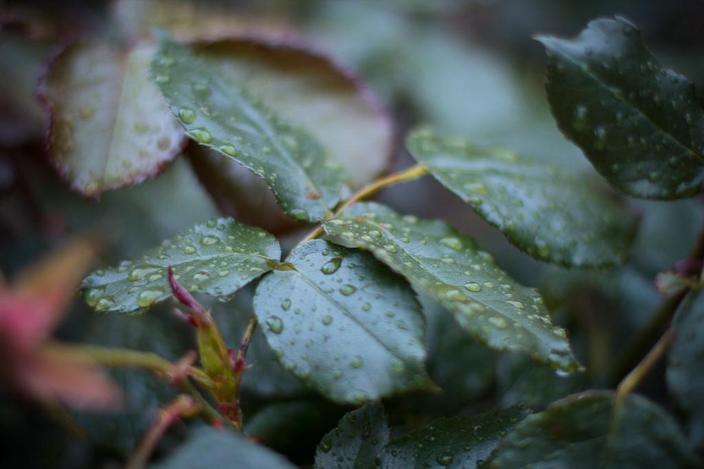 Blad i regn